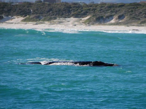 Walker Bay whales image 16