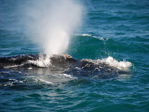 Walker Bay whales image 17